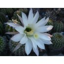 Trich. x Eps (4202) (Multihybride) Maas200 x Echinopsis...